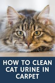 how to clean cat urine in carpet john