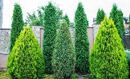 Almost Everything You Ever Wanted To Know About Privacy Trees And Shrubs Naturehills Com