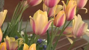 ملايين أزهار التوليب تزين إسطنبول بمهرجانها السنوي