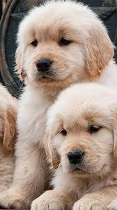 golden retriever puppy wallpaper iphone