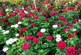 gm goodmorning morning roses rose