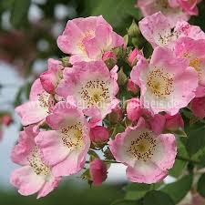 kew rambler rosen kaufen im