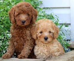 poodle mix puppies puppy
