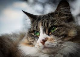 cat eye infection recognize the signs