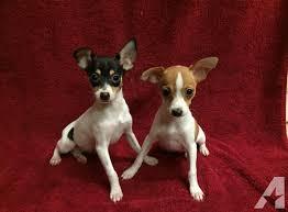 aca toy fox terrier puppies in