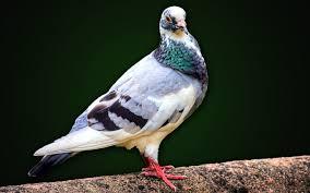 صور حمام خلفيات طيور الحمام الملونة بانواعها ميكساتك