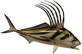 roosterfish half sided fish mount