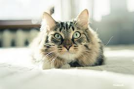 feline eye inflammation
