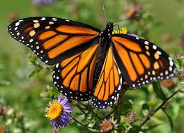 Cette année encore, les papillons monarques ont été moins nombreux ...