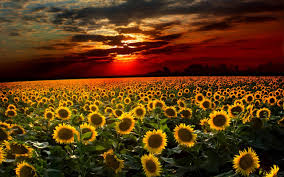 sunflower backgrounds wallpaper cave