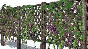 Wood Fence Vines To Grow On Wood Fence