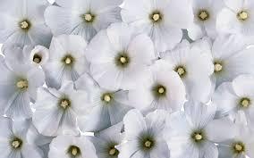 cool white flowers wallpaper