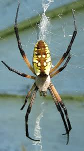 orb weavers of cky university of