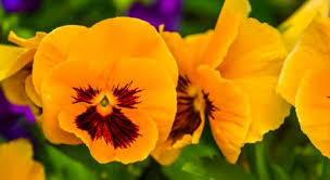 Pansies violets flowers Stock Photos, Royalty Free Pansies violets ...