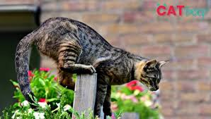 How Do I Stop My Cat From Jumping Over The Fence Cat Beep