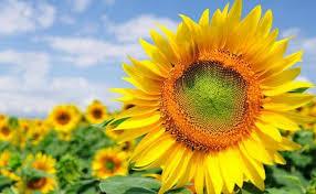 arti dan filosofi bunga matahari com