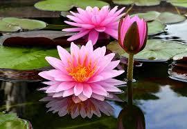 Seja como a Flor de Lótus: renasça a cada dia diante da ...