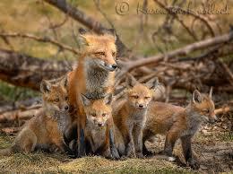 a red fox family affair this seems