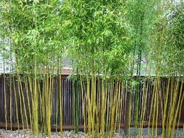 Garden Plot Bamboo Lawyers And Bare Spots Wtop Bamboo Garden Bamboo Garden Fences Bamboo Plants