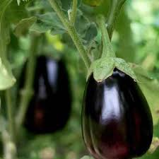 how to grow eggplants in a garden 8 steps