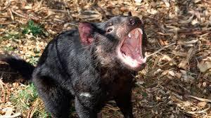 Il Diavolo della Tasmania e il cancro infettivo: stava per estinguersi, ma  ha sviluppato la giusta resistenza - MeteoWeb