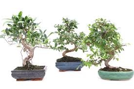 where to place your bonsai tree