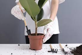 woman replanting ficus flower