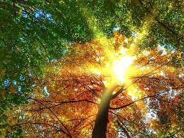 beech trees, fall, autumnal, september, foliage, tree, sunlight ...