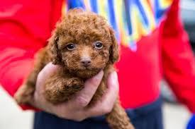 toy poodle puppies houston