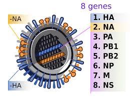 File:2009 H1N1 influenza virus genetic-num.svg - Wikimedia Commons