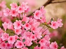 صور ورد الياسمين ما اجمل الورد فى الصور والخلفيات