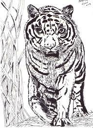 Tekening Van Een Tijger Getekend Door Brigit Weeda