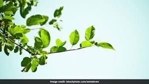 significance of bel patra bilwa leaf
