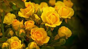 wallpaper of yellow roses