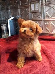 tiny toy poodle puppies melbourne