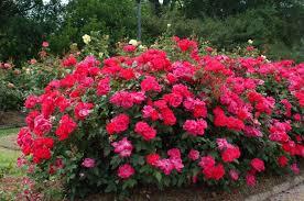 rose gardening 101 watters garden center