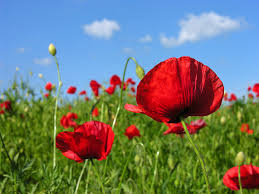 poppies vermelhos sob o céu azul Flores campestres