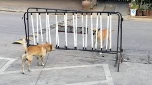Dopey Dogs Barking From Behind Gate Youtube
