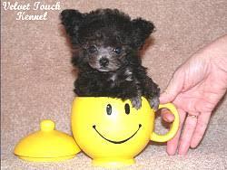 teacup poodle description what is a