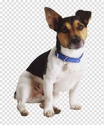 jack russell terrier rat terrier
