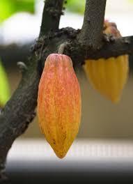 「カカオ豆 フリー素材」の画像検索結果