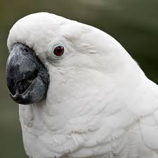 White Cockatoo - Facts, Diet, Habitat & Pictures on Animalia.bio