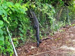 Watch Alligator Climbs Fence In Florida People Com