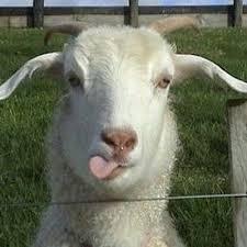 Tinder Goats Tindergoats Twitter Goats Cute Goats Cute Animals