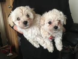 chipoo boy toy poodle chihuahua cross
