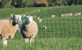 Sheep Supplies Premier1supplies