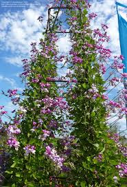 Sweet Pea Vines Moist Composted Soil Deflected Sun Sow In Autumn Or Spring Self Seed After That Patio Flowers Compost Soil Climbing Vines