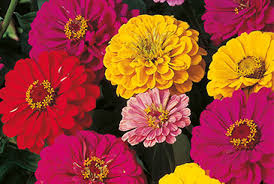 perennial flower seeds exporters in india