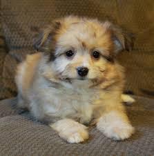 stunning sable pomeranian poodle