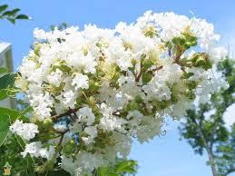 Natchez Crape Myrtle — PlantingTree.com